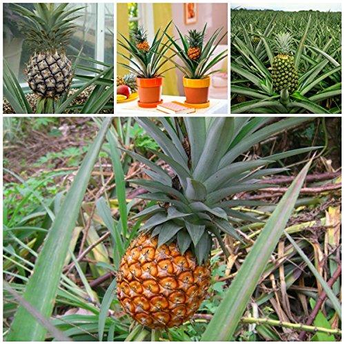Red Ceylon Mauritius Ananaspflanze für Pflanzen, robust