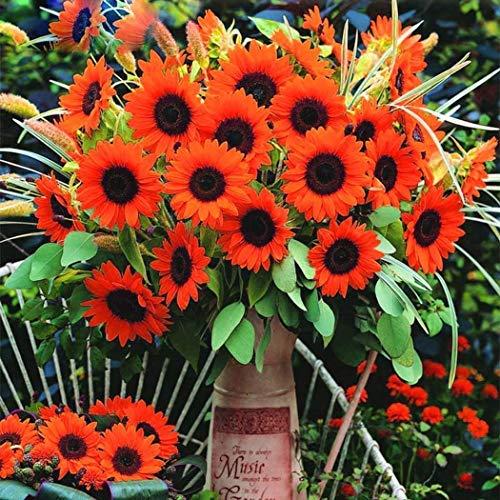 Beautytalk-Garten- RARITÄT 50 Stück Feldsonnenblume Riesen Sonnenblume Mischung Helianthus annuus Samen Hausgarten Dekoration