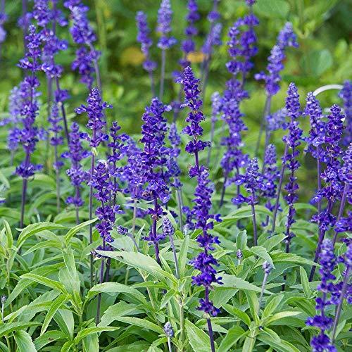 XINDUO Ornamental Flowers Seeds,Garden landscape plant blue sage seeds-100 capsules,Exotic Flower Seeds