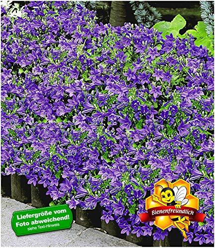 BALDUR-Garten Hängepolster-Glockenblume,3 Pflanzen Campanula, Polsterstaude winterhart