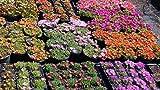 Mittagsblumen Delospernum 12er mix palette