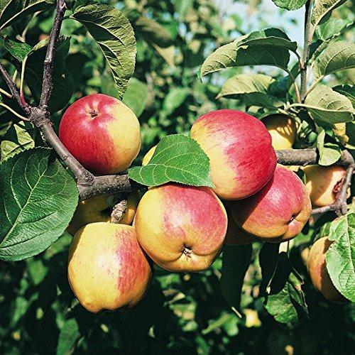 Müllers Apfel 'Reglindis' ca. 150 cm im 10 Liter Topf