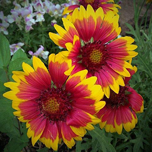 20 pcs/sac de graines de tournesol, graines de tournesol pour la plantation des graines de fleurs bonsaï croissance naturel pour le jardin de la maison Plantin 1