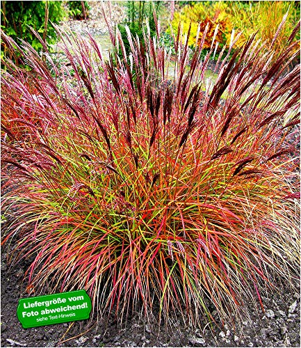 "BALDUR-Garten Chinaschilf""Red Chief"" 1 Pflanze Miscanthus sinensis winterhart Chinagras"