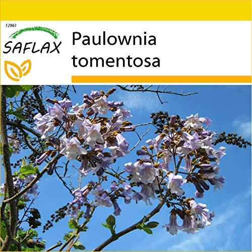 SAFLAX - Kit de culture - Arbre impérial - 200 graines - Paulownia tomentosa