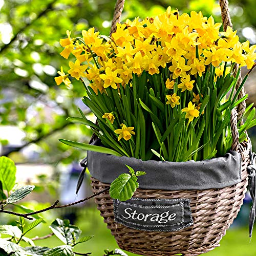 "30x Narcissus \""Tête-à-Tête\"" | 30er Set Blumenzwiebeln Narzissen | Osterglocken Zwiebeln | Blumenzwiebeln Frühblüher | Ø 10-11cm"
