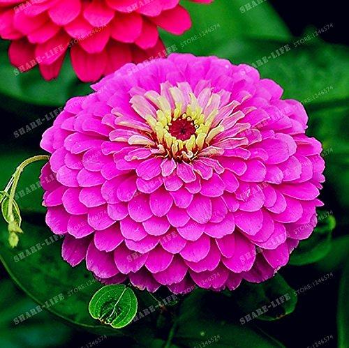 100PCS Zinnia Graines rares Variété chaleur Tolerant Jardin Fleur Plantes à fleurs en pot Charme chinois Fleurs Graines Facile croissance 12