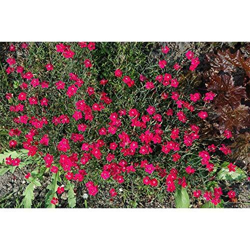 Dianthus gratianop. 'Lavaström' -...