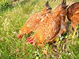 Nature's Seed PB-PNPB-2000-F Poultry Pasture Seed, 2000 sq.'