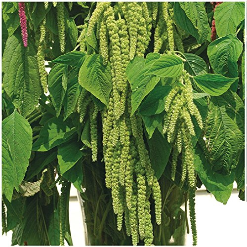 Lot de 100 graines de Queue de Renard vert Green Cascade - plante annuelle