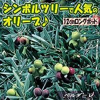 オリーブ苗木 品種:ベルダーレ 12cmロングポット(2~3年生挿し木/大苗)【1個】【ポット苗なのでほぼ年中植付けOK!即出荷!】