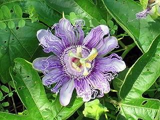 Best passiflora incarnata for sale Reviews