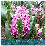 ZLKING 10 especie de bulbo jacinto Bonsai Hyacinthus orientalis Bonsai hidroponía flor no germinación de semillas de alto ritmo rápido Grow 10