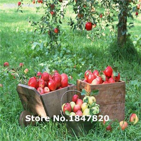 Bonsai de Apple semillas de árboles bonsai 50 PC jardín semillas de manzana frutos en macetas jardineras