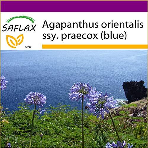 SAFLAX - Big Garden - Schmucklilie/Liebesbaum - 50 Samen - Mit Gewächshaus, Töpfen, Anzuchtsubstrat und Dünger - Agapanthus orientalis