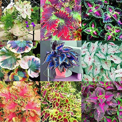 50 Ps Coleus Bloemzaden DIY Home Tuin Yard Blad Plant Potted Bonsai Decor voor Vrouwen, Mannen, Kinderen, Beginners…