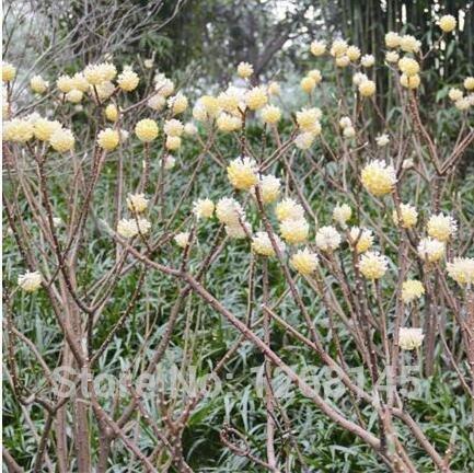 Noeud mixte Arbre Graine 100 Pcs Huang Rui Xiang Xiang cravate nouée Tree House Parfumée Fleur Salut Fleur Beauté vrai coup de votre jardin