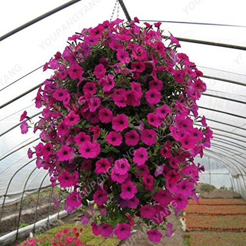 200PCS couleurs mélangées Petunia Graines de fleurs Graines Fleurs vivaces pour jardin Bonsai Pot Plantation Belle Décoration Blanc