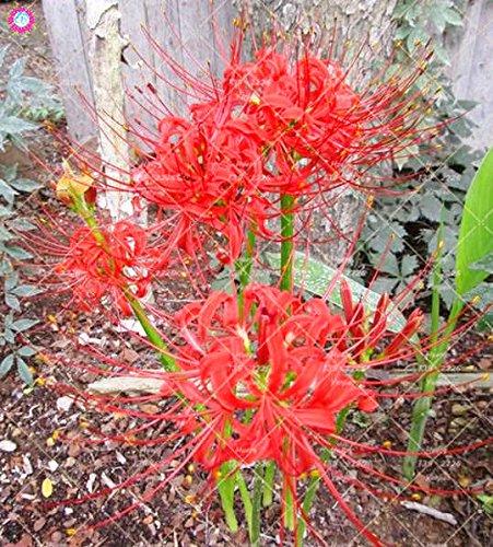 2PCS vrai Lycoris Radiata Ampoules Bana Ampoules (pas de graines) Fleurs en pot Ampoule d'intérieur Bonsai usine pour la maison Jardin 2