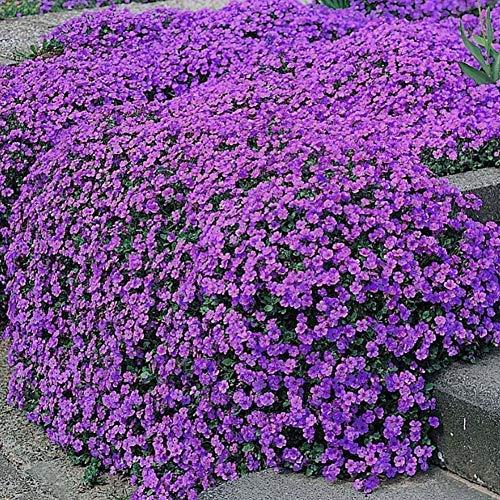 Blaukissen Aubrieta Samen Winterhart Mehrjährig Pflanzen, Blaukissen Gänsekresse Königsblaue Bodendecker Blütenteppich Blumensamen, Pflegeleicht im Beet und Steingarten (120 Samen)