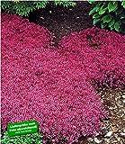 BALDUR-Garten Winterhart Bodendecker-Thymian Thymus, 3 Pflanzen Polsterthymian Thymian Pflanze winterhart