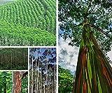 Selten Exotische Eucalyptus Deglupta Baumsamen
