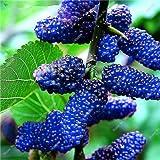 Planta bonsai frambuesa mora Semilla Negro Berry Blackberry perenne árbol delicioso suculento de fruta mejor regalo para el niño 400 piezas 5