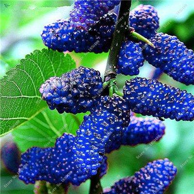 Bonsai framboise mûre graine noire Berry Blackberry vivace arbre plante délicieux Succulent Fruit meilleur cadeau pour enfant 400 Pcs 5