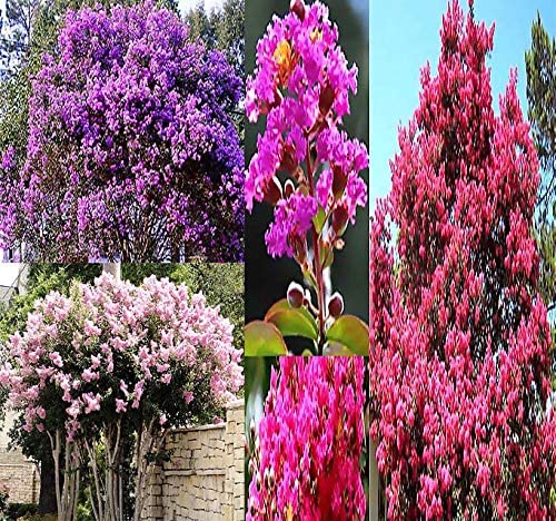 Memphis Mall Big Pack - At the price 1 000 Crape Myrtle S Tree Mix Indica Lagerstroemia