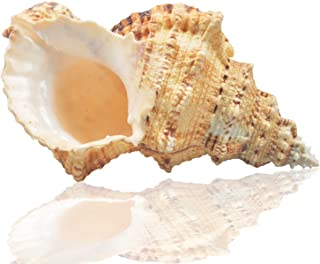 Jangostor Large Natural Sea Shells, Huge Ocean Conch 7-8 inches Jumbo Seashells Perfect for Wedding Decor Beach Theme Party, Home Decorations,DIY Crafts, Fish Tank and Shell Collectors (Color 5)