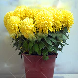 100pcs Bonsai Chrysanthemum Seeds Florists DendranthemaTanacetum morifolium Perennial Indoor Flower Seeds for Home Garden Plant