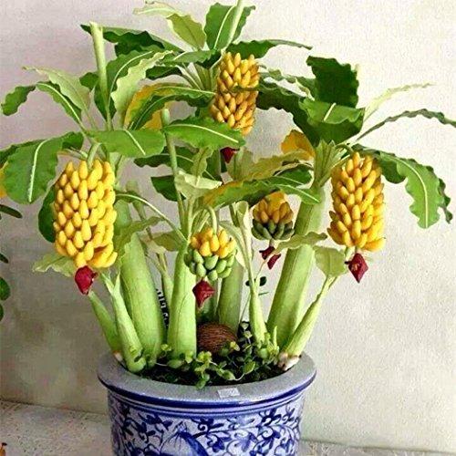 Ncient 10/20/ 30/50/ 100pcs/ Sac Graines de Bananier Mini Arbres Fruitier Bonsaï en Plein Air Semences de Fruits Jardin pour l'Intérieur et l'Extérieur (100Pcs)