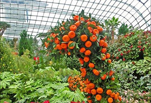 50 Pcs Mini pot de fruits comestibles Graines Bonsai orange Graines Chine (Quanzhou) Escalade Graines d'Orange Tree Climbing Pl