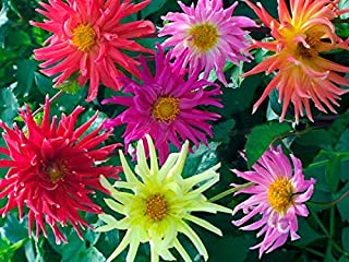 Rare Seeds Sale Cactus Flowered Mix Dahlia 30 seeds Ship From USA