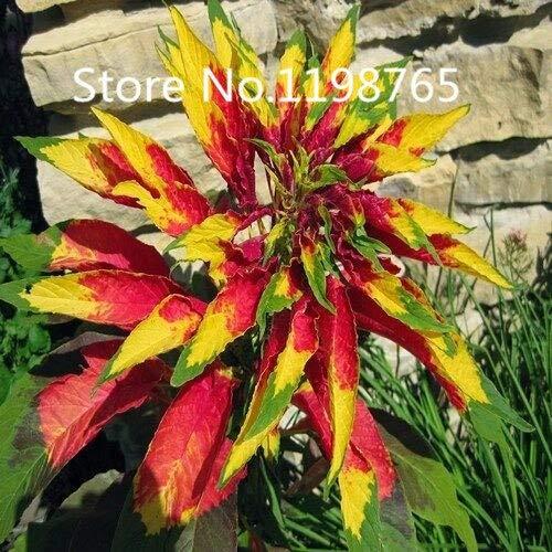 Amarillo: ¡Promoción de precio especial!100 semillas de flor de pascua 10 tipos de empaque mixto, semillas de flores de alta germinación jardín bricolaje floración perenne