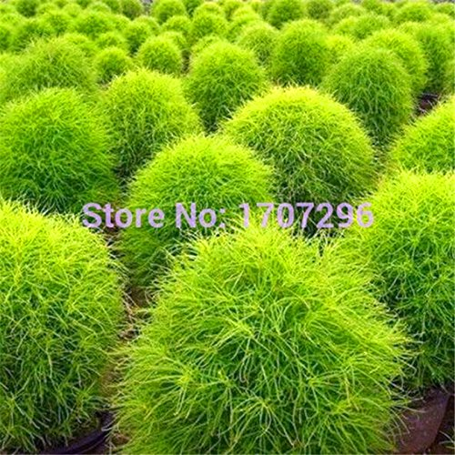 100 graines Summer Kochia Cypress herbe vivace terre fleur de jardin couvre Rapid Cultiver Buisson Ardent Plante