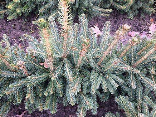 5 Stk. Blaufichte - Blautanne - (Picea pungens glauca)- Topfware 15-25 cm