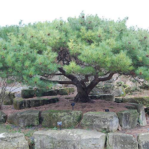 Shopvise japonais pierre pin Pinus Pumila 10 graines