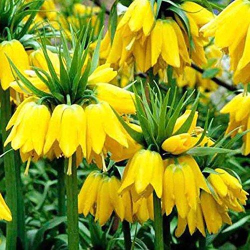 C-LARSS 100 Stück Samen Gelbe Kaiserkrone Fritillaria Blumenpflanze Samen Hausgarten Dekor