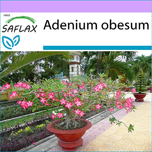 SAFLAX - Bonsai - Wüstenrose - 8 Samen - Adenium obesum