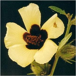 Hibiscus diversifolius - swamp hibiscus - yellow hibiscus - 10 seeds