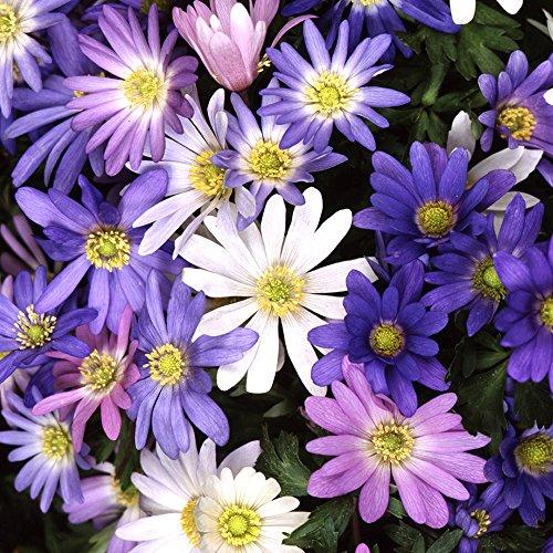 Anemone BLANDA Mixed Winter Windflower Spring Flowering Garden Bulbs (50)