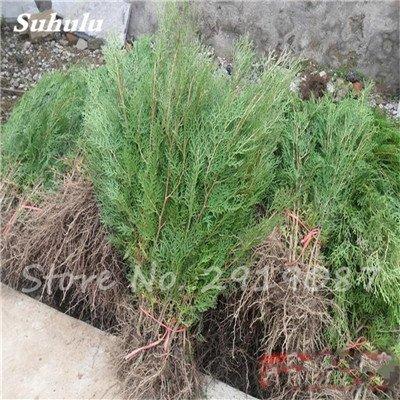 20pcs Cyprès Graines charnue Platycladus Orientalis Oriental Thuya Seed Conifer Graines Plantes vivaces Jardin Facile 8 Cultivez