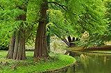 Urweltmammutbaum Metasequoia glyptostroboides 200 Samen -