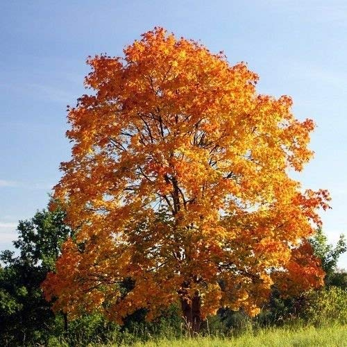 vegherb Norway Maple Tree Seeds (Acer Platanoides) 10+Seeds