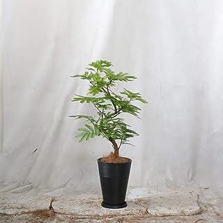 エバーフレッシュ シュエットブラック(樹脂)鉢 7号 高さ90cm 【観葉植物】【室内向け】【沖縄から直送】