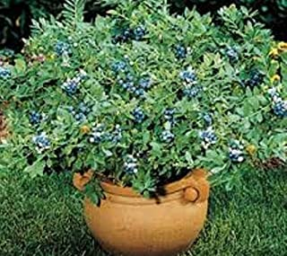 Top Hat Dwarf Blueberry (Vaccinium) - Live Plant - Trade Gallon Pot
