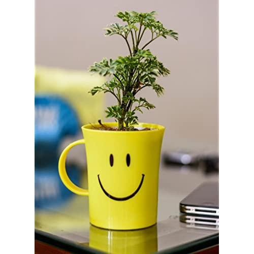Rolling Nature Aralia Variegated Plant In Smiley Cup