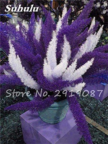 Hot! 120pcs sétaire fleur Bonsai graines, coloré pot sétaire Ferns plantes ornementales Aménagement paysager décoratif Herbe plantez des graines 3