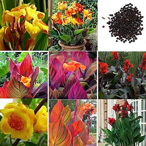 Ultrey Samenshop - 50 Stück Indisches Blumenrohr 'Canna indica' exotische Blumensamen winterhart mehrjährig für Garten Balkon/Terrasse